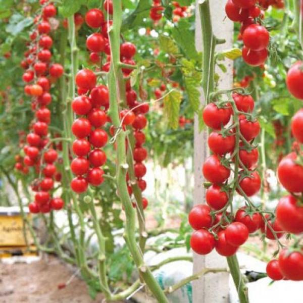 Terminato Ciliegia Tomaten Samen