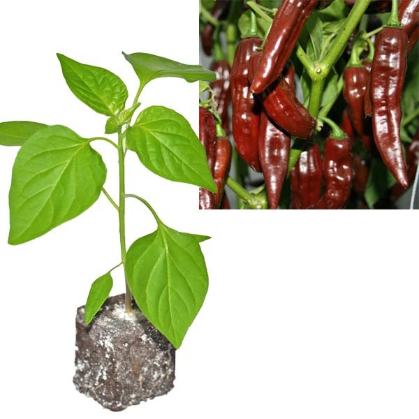 BIO Fatalii Brown Chili-Pflanze