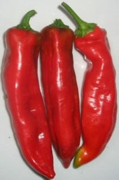 Nocera Rosso Chili Samen B-Ware