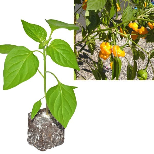 BIO Scotch Bonnet Yellow Chili-Pflanze