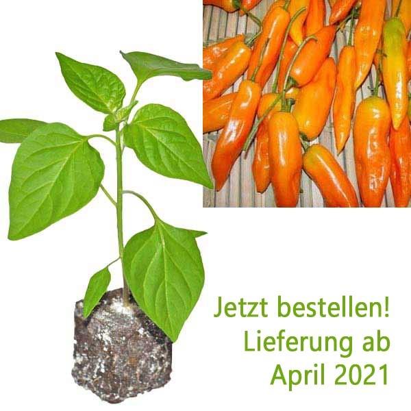 BIO Aji Amarillo Chili-Pflanze
