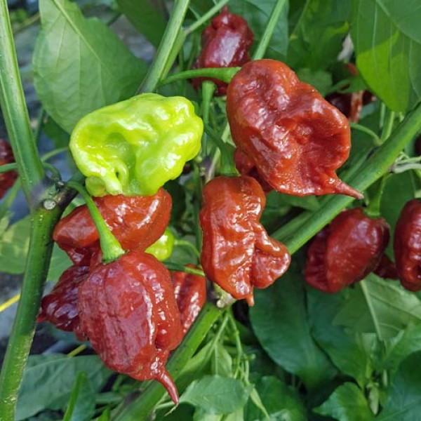 Carolina Reaper Brown Chili Samen