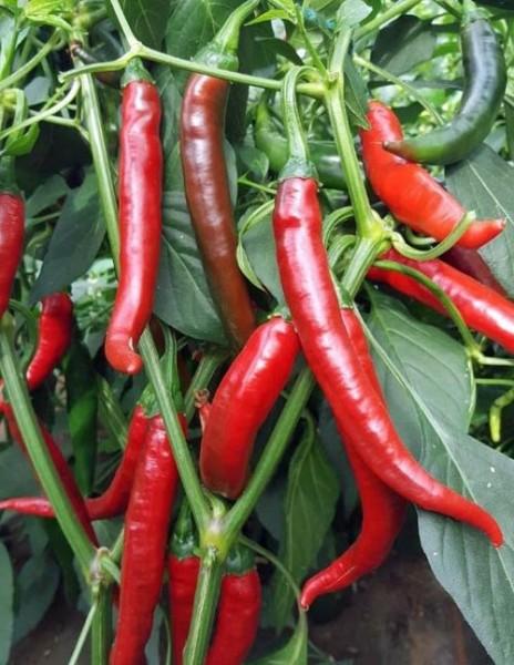 Fuego Chili Samen