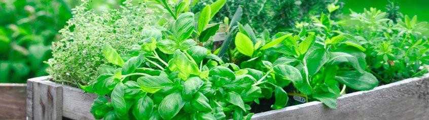Kräuter-Samen