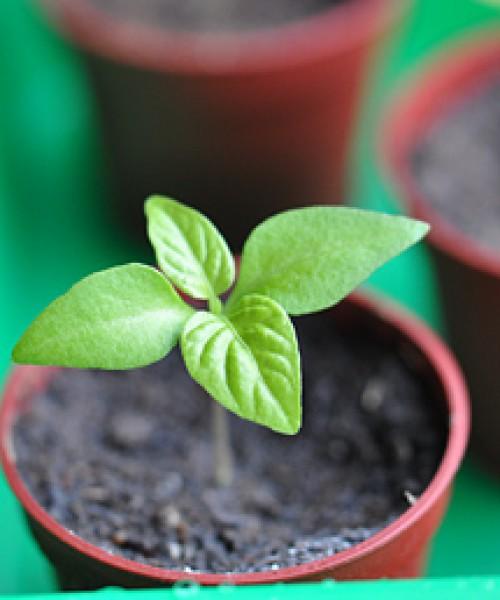 Was wird für den Chilianbau benötigt ?