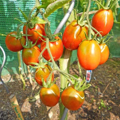 black plum tomaten samen bestellen chili. Black Bedroom Furniture Sets. Home Design Ideas