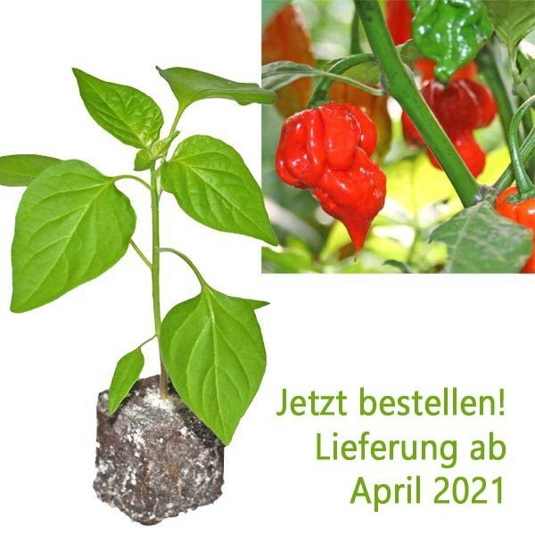 BIO Trinidad Scorpion Butch T. Chili-Pflanze