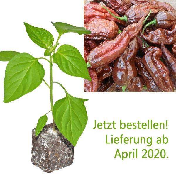BIO Black Naga Chili-Pflanze
