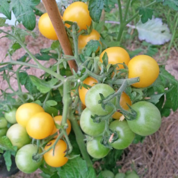Window Box Yellow Tomaten Samen