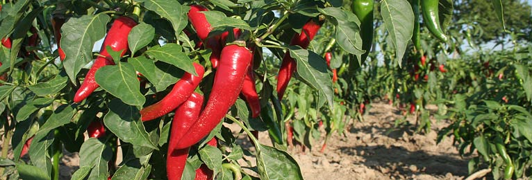 Chilis selbst anbauen