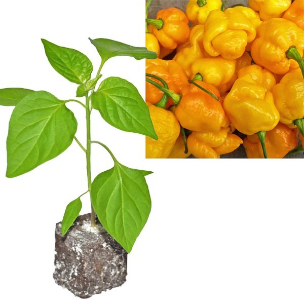 BIO 7 Pot Brainstrain Yellow Chili-Pflanze