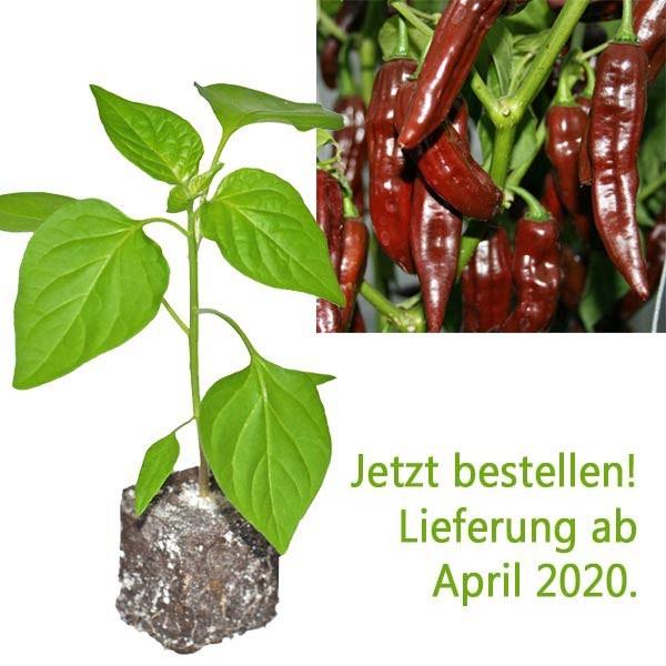 BIO Fatalii Brown Chili-Pflanze