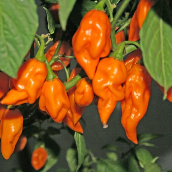 Bih Jolokia Orange Chili Samen