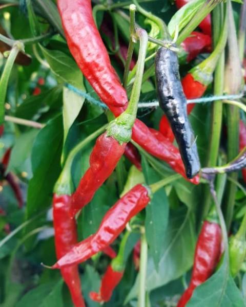 Chinese Black Chili Samen