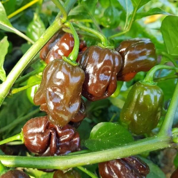 Jamaican Hot Chocolate Chili Samen