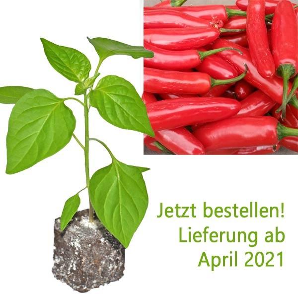 BIO Serrano Chili-Pflanze
