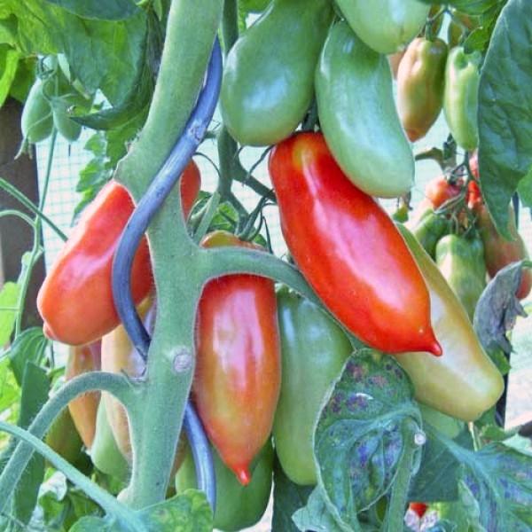 San Marzano Tomaten Samen