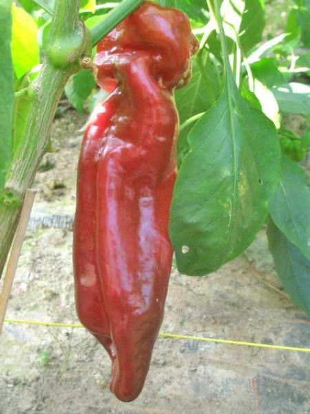 Dulce Italiano Chili Samen B-Ware