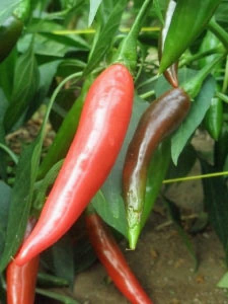 Puya / Pulla Chili Samen