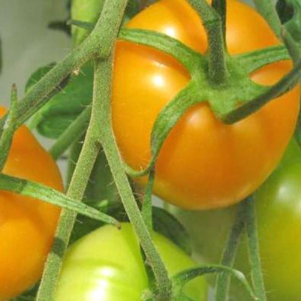 Golden Jubilee Tomaten Samen
