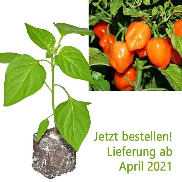 BIO Habanero Orange Chili-Pflanze