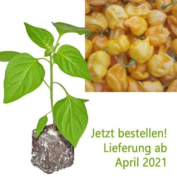 BIO Carolina Reaper Yellow Chili-Pflanze