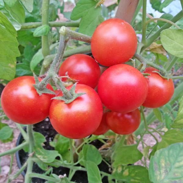 Tumbler Sweet Tomaten Samen