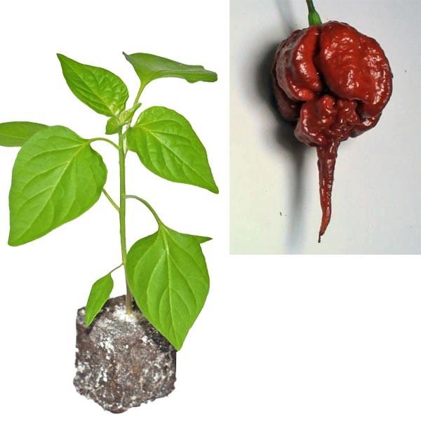 BIO Carolina Reaper Brown Chili-Pflanze