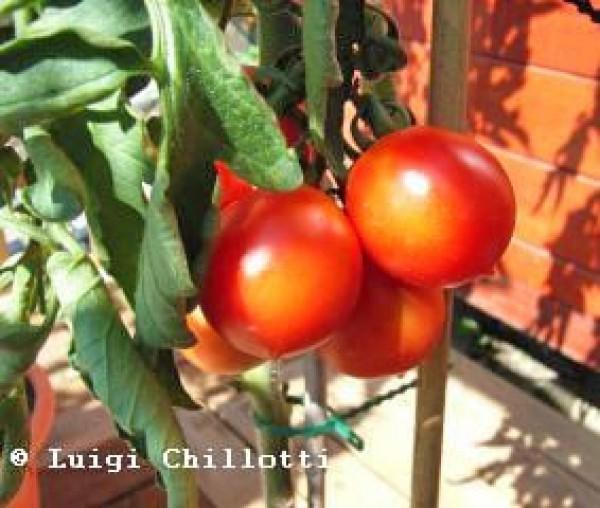 Principe Borghese Tomaten Samen B-Ware