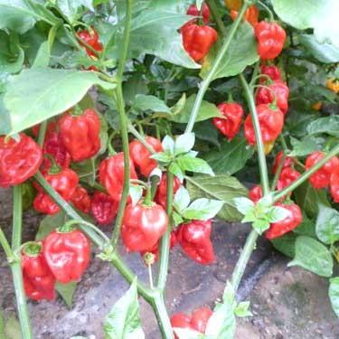 Mighty Hornet Red Chili Samen