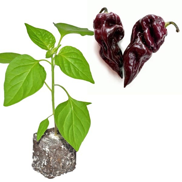 BIO Chocolate Scorpion Chili-Pflanze