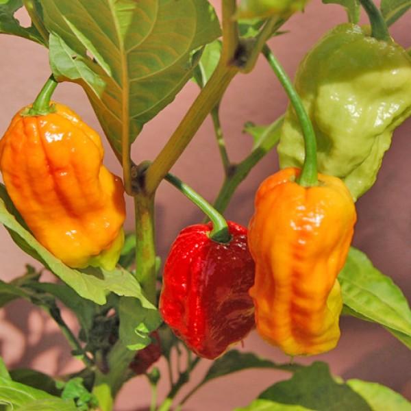 Die schärfsten Chilisorten der Welt