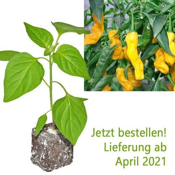 BIO Penis Pepper Yellow Chili-Pflanze