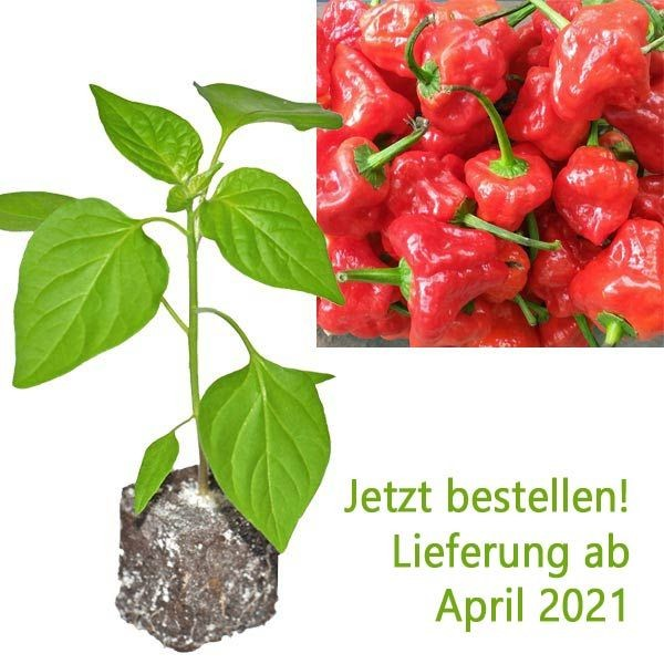 BIO Scotch Bonnet Red Chili-Pflanze