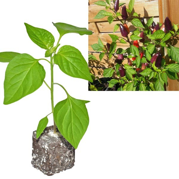 BIO Starfire Purple Chili-Pflanze