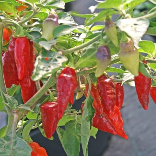 Scarlet Lantern Peru Chili Samen B-Ware