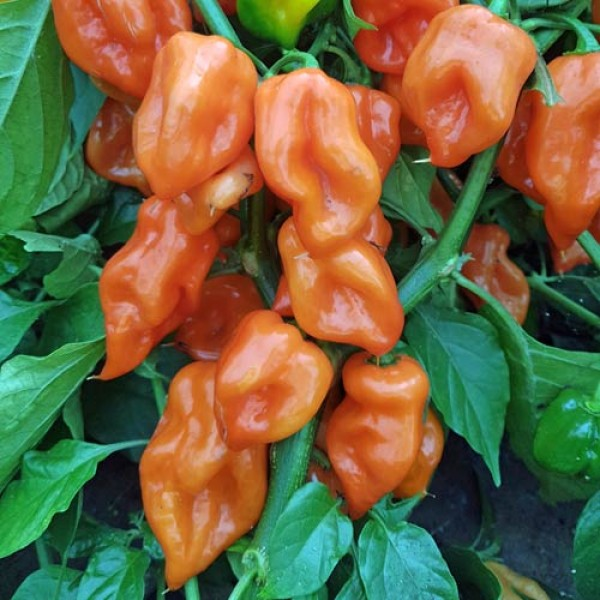 Chili 20 Samen Scotch bonnet orange scharf