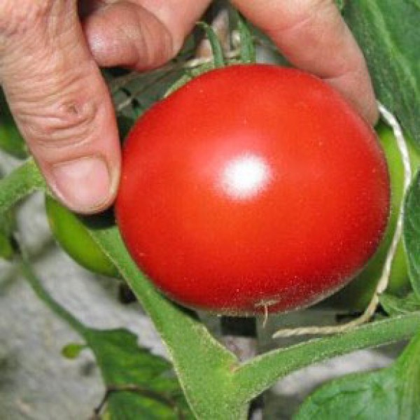 Saint Pierre Sweet Tomaten Samen