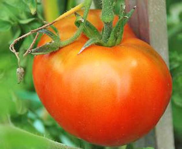 Moskvich Tomaten Samen