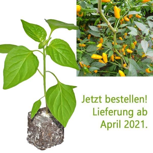BIO Tabasco Short Yellow Chili-Pflanze