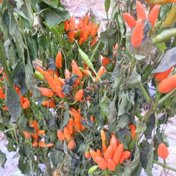Stromboli Chili Samen