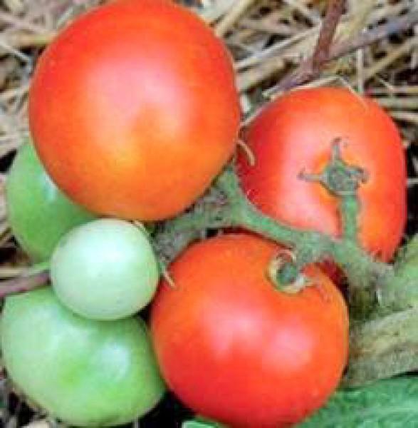 Czech Bush Tomaten Samen