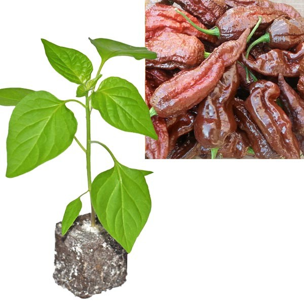 BIO Black Naga Chili-Pflanze