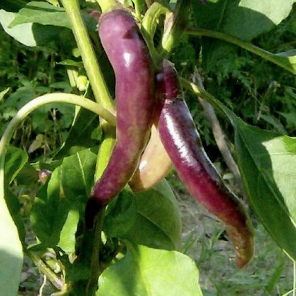 Cayenne Purple Chili Samen