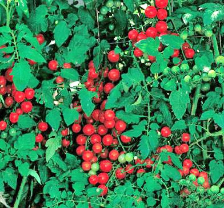 Cherry Sweetie Tomaten Samen