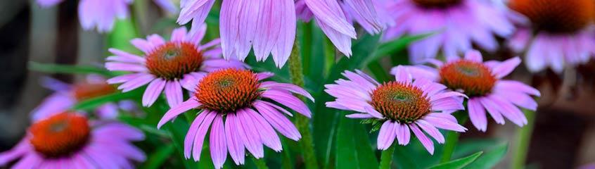 violette_Blumen