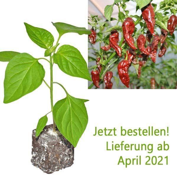 BIO Bhut Jolokia Chocolate Chili-Pflanze