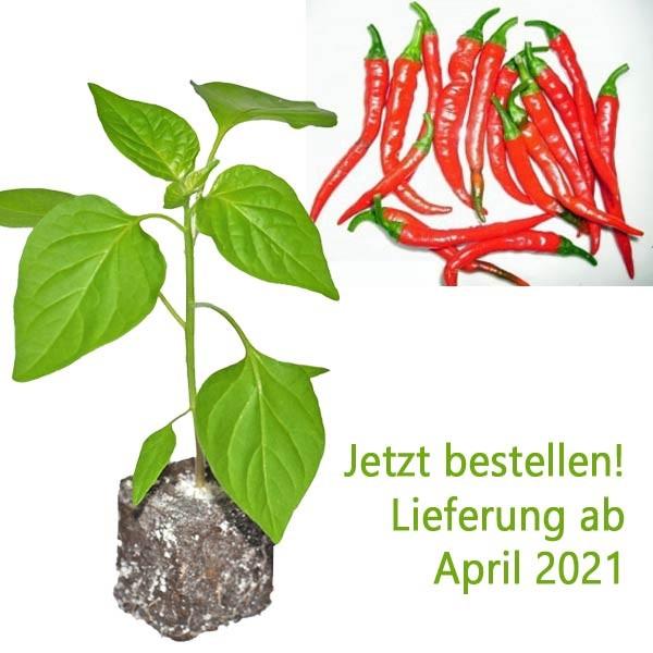 BIO Ring of Fire Chili-Pflanze