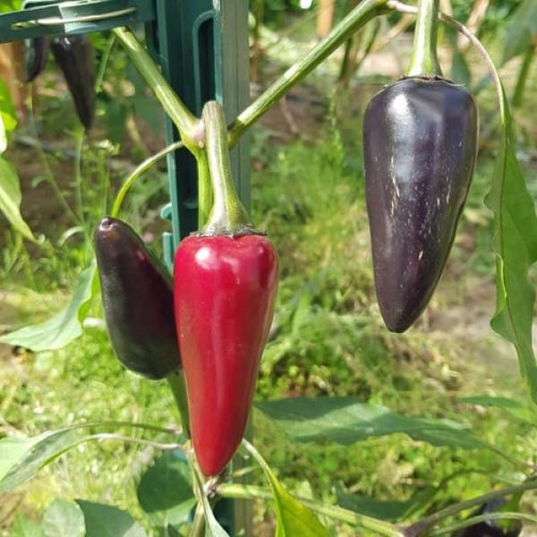 Czech Black Chili Samen