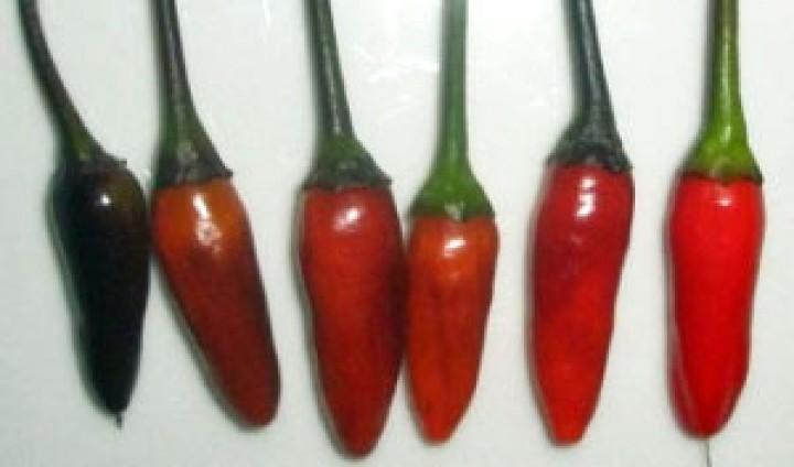 Royal Black Chili Samen